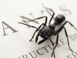 Ants (Dinoponera Australis) Posing on a Page