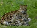Sri Lankan Leopard (Panthera Pardus Kotiya) Mother with Cubs  Captive