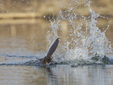 Beaver Flapping the Water with its Tail (Castor Canadensis)  North America