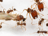 Male Ant (Pheidole Tepicana) with Major and Minor Workers in a Laboratory Colony  Arizona  USA