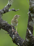Tree Pipit (Anthus Trivialis) with Insect Prey in its Bill  France