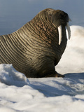 Walrus (Odobenus Rosmarus) Resting on Ice