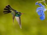 Broad-Billed Hummingbird (Cynanthus Latirostris) Male Feeding on a Blue Tubular Flowers  Arizona