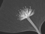 X-Ray of a Dogwood Flower and a Ginkgo Leaf