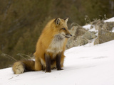 Red Fox (Vulpes Vulpes) Sitting on Snow  USA