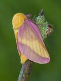 Rosy Maple Moth (Dryocampa Rubicunda)