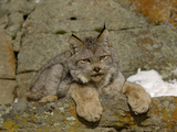 Canadian Lynx (Lynx Canadensis) Sitting on a Snowy Rock  USA