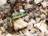 Harvester Ants Dragging a Caterpillar (Aphaenogaster Albisetosa)