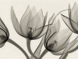 X-Ray of Tulip Flowers