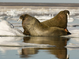 Walruses (Odobenus Rosmarus) Resting on Ice Floe