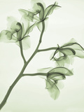 X-Ray of Orchid Flowers