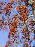 Wonder Tree (Idesia Polycarpa)  a Deciduous 20 M Tree with Red Berries