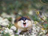 Norway Lemming (Lemmus Lemmus) Sweden