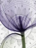 X-Ray of a Tulip Flower with a Fabric Background