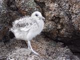 Swallow-Tailed Gull Chick (Creagrus Furcatus)  Darwin Bay  Galapagos Islands