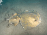 Stingrays (Dasyatis Pastinaca)  Los Gigantes  Tenerife  Canary Islands  Atlantic Ocean