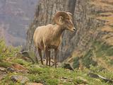 Bighorn Ram  Glacier National Park  Montana  USA