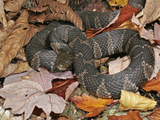 Northern Water Snake (Nerodia Sipedon)  Family Colubridae  Eastern USA