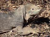 Female Galapagos Land Iguana (Conolophus Subcristatus)  Isabela Island  Galapagos