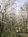 Beekeepers Placing Honey Bee Hives Among Almond Trees in an Orchard