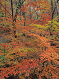 Maples at Peak Color in the Bukhaensan Forest Near Seoul  South Korea
