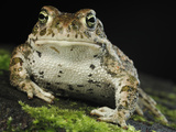 The Natterjack Toad (Epidalecalamita  Formerly Bufo Calamita)