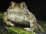 The Natterjack Toad (Epidalecalamita  Formerly Bufo Calamita)