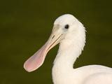 Roseate Spoonbill (Platalea Ajaja) Fledgling  Florida  USA