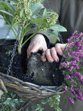 Gardener Preparing a Hanging Basket with Heather and Skimmia Flowers