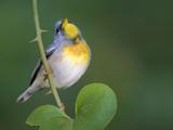 Northern Parula Vocalizing (Parula Americana)  Dauphin Island  Alabama