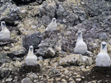 Shy Albatross (Diomedea Cauta) Chicks in Nests  Albatross Island  Tasmania  Australia