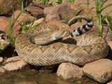 Western Diamondback Rattlesnake (Crotalus Atrox) at a Desert Waterhole  Western USA