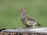 Nubian Woodpecker (Campethera Nubica)  Kenya