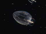 Comb Jelly Feeding on Another Comb Jelly (Beroe Cucumis)  California  USA