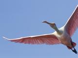 Roseate Spoonbill (Platalea Ajaja) in Flight  Florida  USA