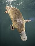 Platypus Diving (Ornithorhynchus Anatinus)  Tasmania  Australia