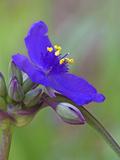 Spiderwort Flower and Flower Buds (Tradescantia)