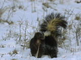 Striped Skunk (Mephitis Mephitis) with Tail Raised in Snow  USA