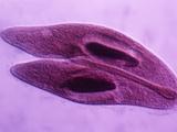 Paramecium Caudatum Ciliate Protozoa Conjugation or Sexual Reproduction  Phase Contrast  LM X150