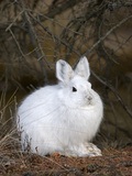 Snowshoe Hare in its Winter Pelage before Snow Covers the Ground (Lepus Americanus)  Alaska  USA