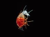 Hyperiid Amphipod  Crustacea  Class Malacostraca  Pacific Ocean