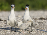 Royal Tern (Sterna Maxima) Family with Small Chick  Florida  USA