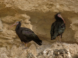 Bald Ibis or Waldrapp (Geronticus Eremita) an Endangered Species  Captive