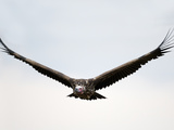 Nubian Vulture or Lappet-Faced Vulture in Flight (Torgos Tracheliotus)  Kenya