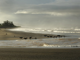 Black Vultures Waiting for Olive Ridley Sea Turtle Hatchlings to Emerge