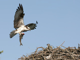 Male Osprey (Pandion Haliaetus) Bringing Fish to Nest  Flathead Lake  Montana  USA