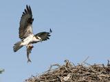 Male Osprey (Pandion Haliaetus) Bringing Fish to Nest  Flathead Lake  Montana  USA