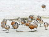 Red Knots Molting to Breeding Plumage (Calidris Canutus Rufa)  Florida  USA