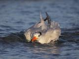 Royal Tern (Sterna Maxima) Bathing Head in Water  Florida  USA