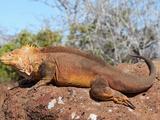 Galapagos Land Iguana (Conolophus Subcristatus)  North Seymour Island  Galapagos